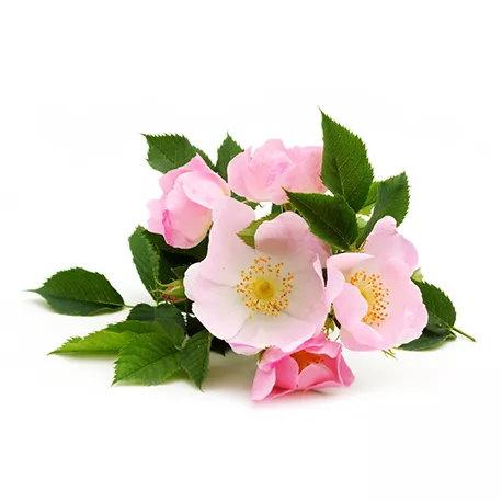 Óleo de rosa mosqueta - benefícios